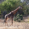 Giraffe Kruger National Park
