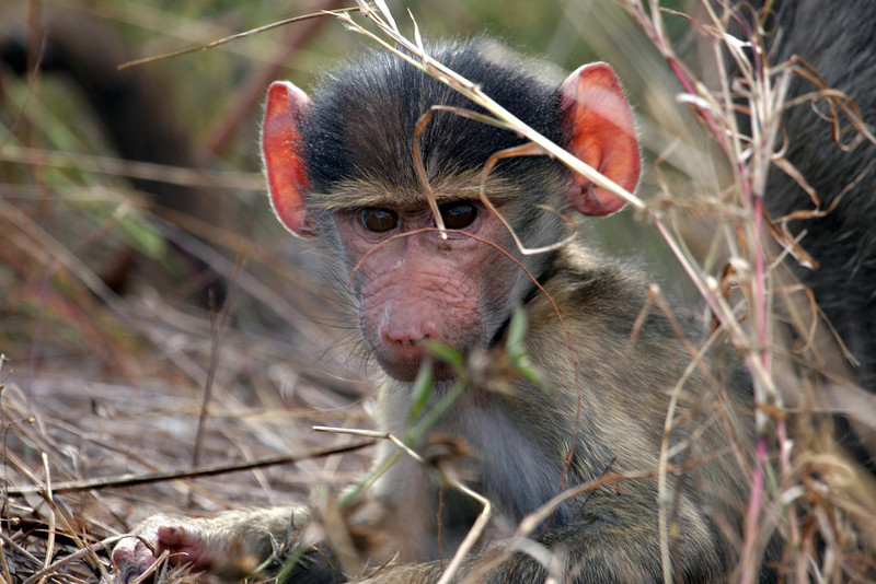 Baboon Baby Kruger National Park