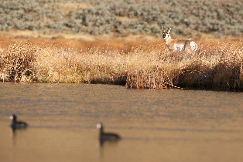Pronghorn near Lamar Valley