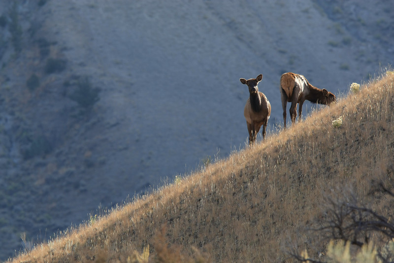 Elk near Mammoth Hot Springs