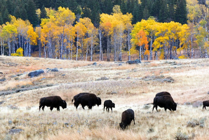 Bison and Fall Colors Yellowstone Lamar Valley