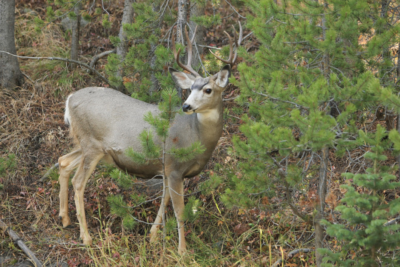 Mule Deer in Yellowstone