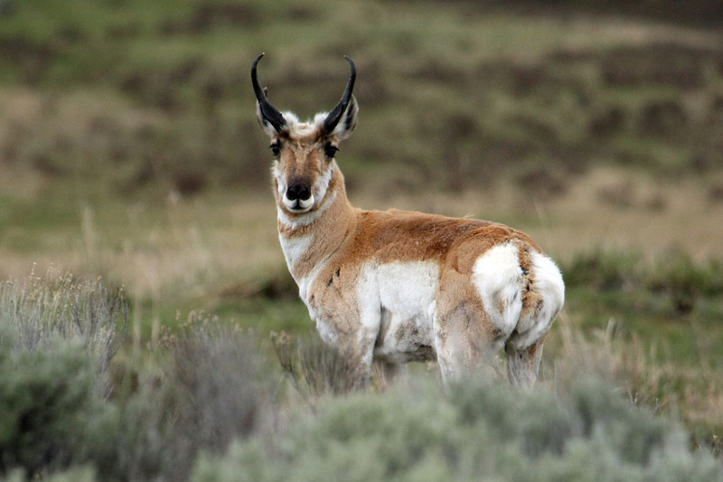 Pronghorn in Lamar Valley Yellowstone
