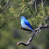 Blue bird in Yellowstone