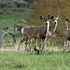 Deer in Gardiner near Yellowstone