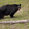 Black Bear in Yellowstone near Mammoth Hot Springs