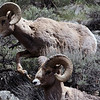 Yellowstone Rams near Gardiner