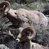 Yellowstone Rams near Gardiner
