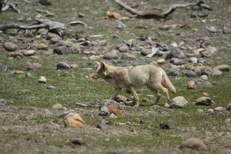 Coyote in Hayden Valley