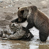 Grizzly on carcass in Yellowstone Lamar Valley