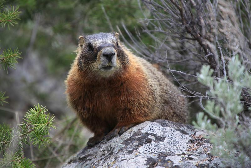 Marmot Posing