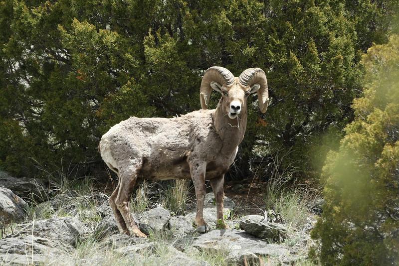 Bighorn Ram in early Spring