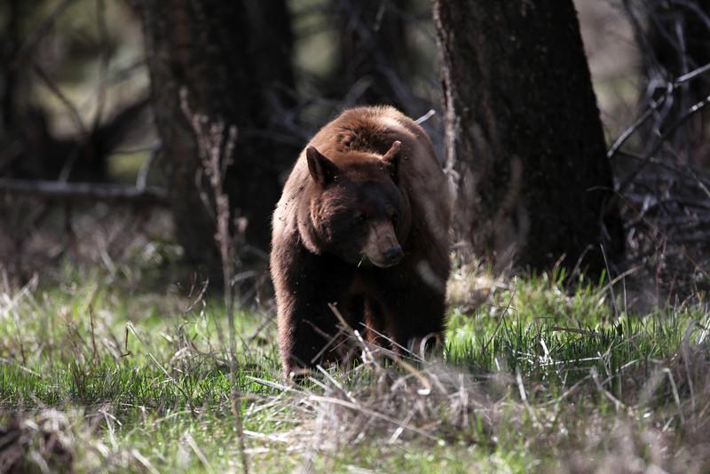 Cinnamon Black Bear in Yellowstone near Mammoth  Hot Springs