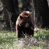 Cinnamon Black Bear in Yellowstone near Mammoth  Hot Springs
