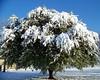 Snow tree 8x10