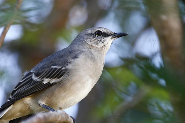 Northern Mockingbird close-up.