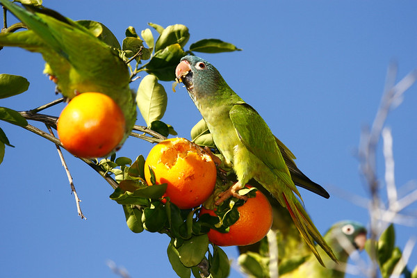 Blue-crowned Parakeet eating orange.