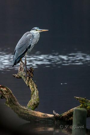 Fiskehejre - The Grey Heron - (Ardea cinerea)
