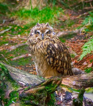 Mosehornugle, Jordugle, Short-eared Owl - (Asio flammeus)