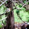 Rødhals - European Robin - (Erithacus rubecula)
