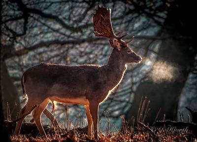 Dåhjort - Male Fallow Deer (Dama dama)