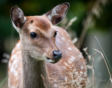 Då - Fallow Deer (Dama dama)