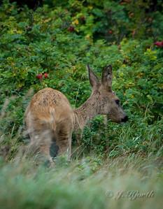 Krondyr - Red Deer (Cervus elaphus) Då