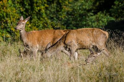 Krondyr - Red Deer (Cervus elaphus)