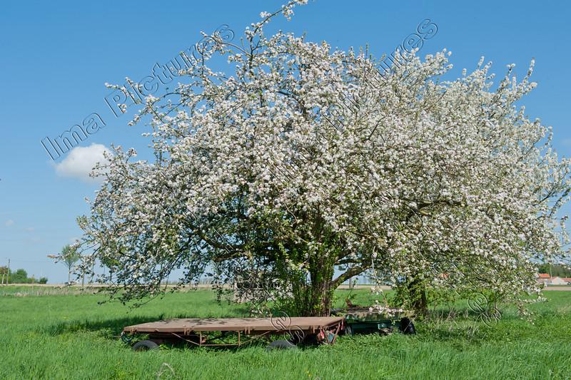 blooming tree,bloeiende boomgaard,arbre en fleur,haspengouw,la Hesbaye,Belgium,België,Belgique
