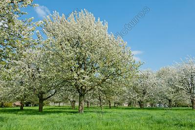 blooming orchard,bloeiende boomgaard,verger en fleur,haspengouw,la Hesbaye,Belgium,België,Belgique