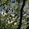 Grey Headed Flying Fox Bats roosting in Sydney Botanical Gardens, Australia - January 2008
