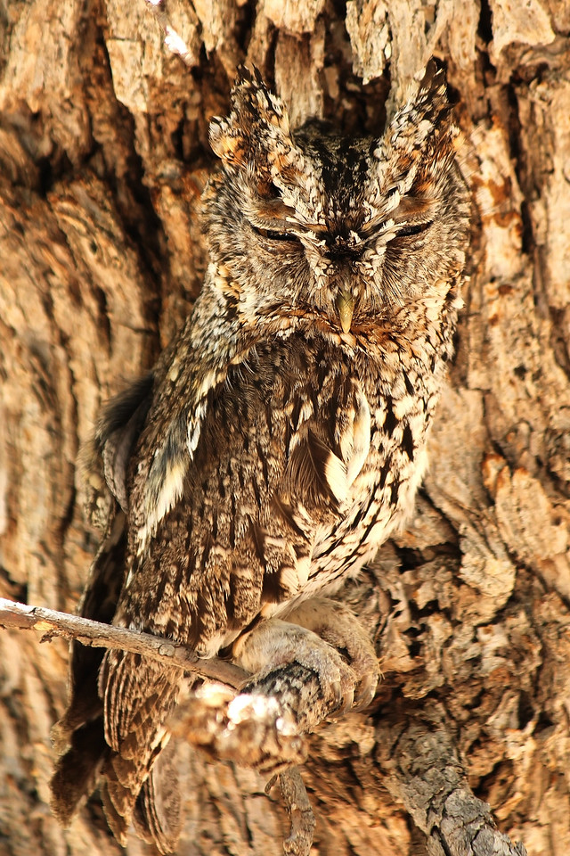 Portal, AZ. A male Whiskered Screech-owl keeping watch over his fledglings who have just emerged from their nest. There are only a few remote mountain canyons in southeastern Arizona and southwestern New Mexico where one can find Whiskered Screech-owls in the US.
