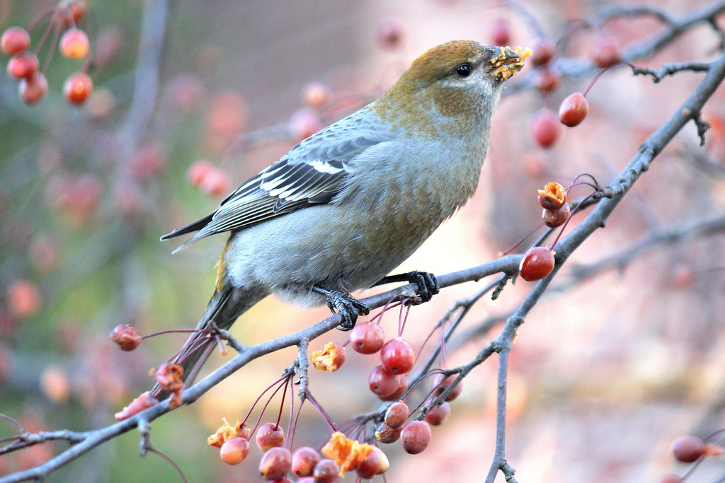 Pine Grosbeak. Fryeburg, ME