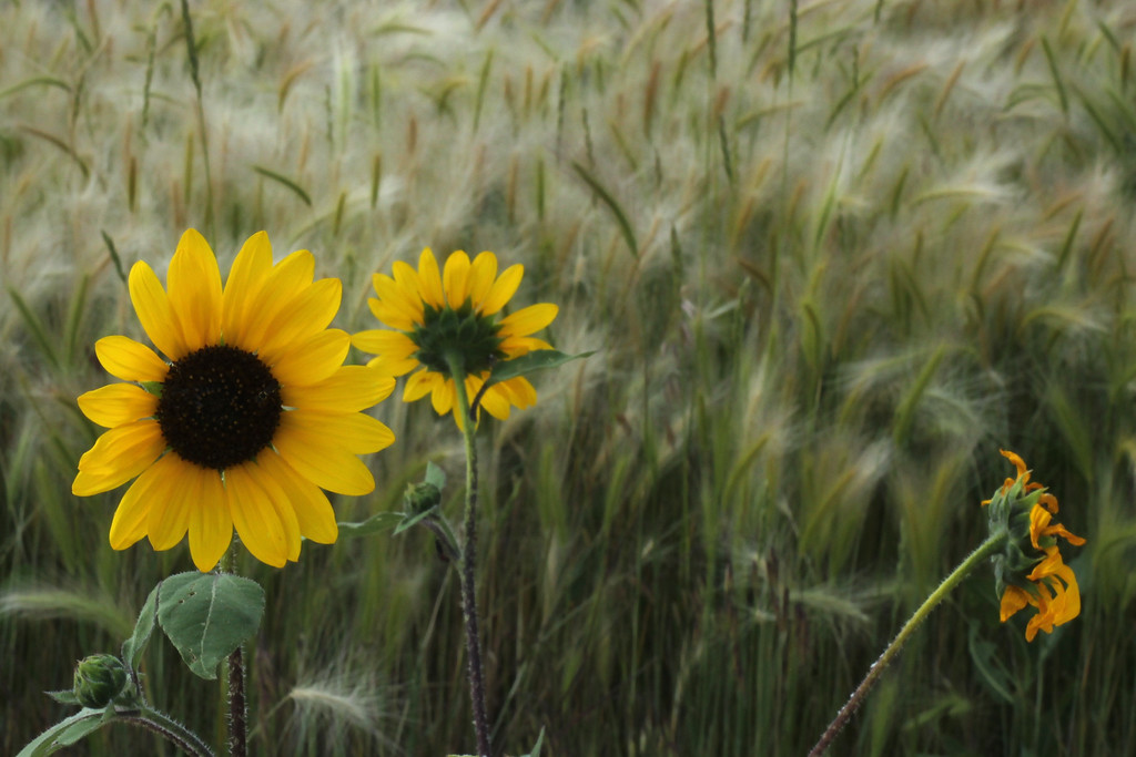 Common Sunflower and Foxtail Barley, native prairie plants, on the Stronghold Unit of Badlands National Park, Pine Ridge Reservation, South Dakota.