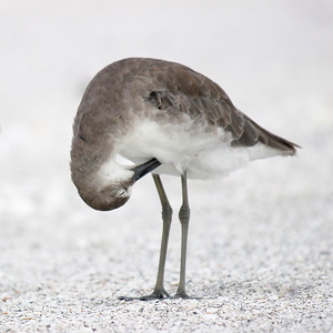 """The worse my drawings were, the more beautiful did the originals appear."" - John James Audubon. Willet, Lover's Key State Park, Estero, FL."