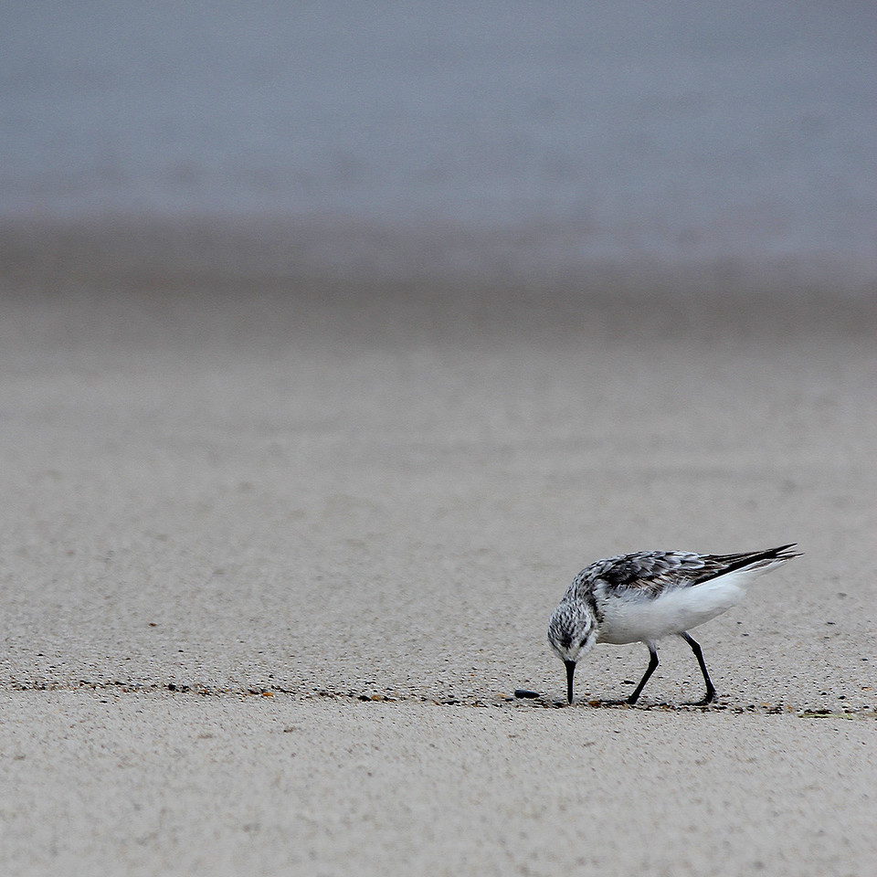 Before the Hurricane. Semipalmated Sandpiper, Nauset Beach, Orleans, MA. Hours before a big storm sweeps up the coast.