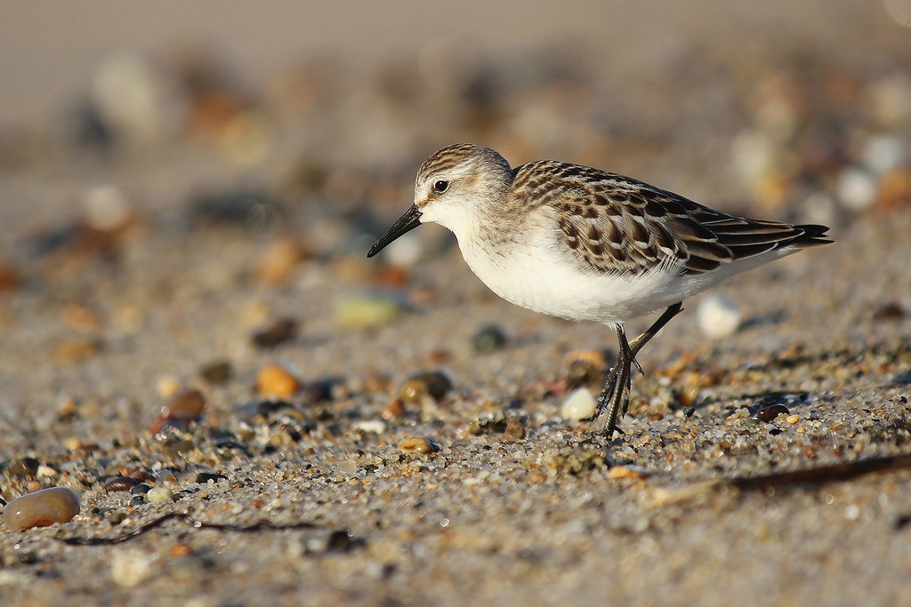 Semipalmated Sandpiper, Cape Cod National Seashore, Provincetown, MA.