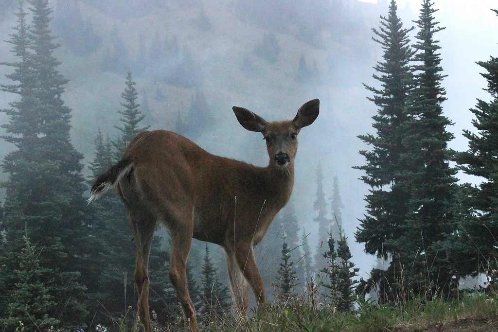 Hurricane Ridge, Olympic National Park, Washington. The dense morning fog finally lifted, revealing a Columbian black-tailed doe. I crawled on my belly through dense firs to get this point of view.