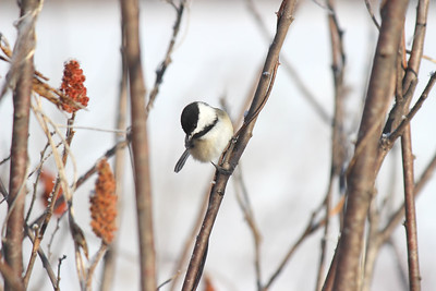 All This Warmth of the Sun. Black-capped Chickadee. Fryeburg, ME. Even the tiniest bird can survive the coldest winter.