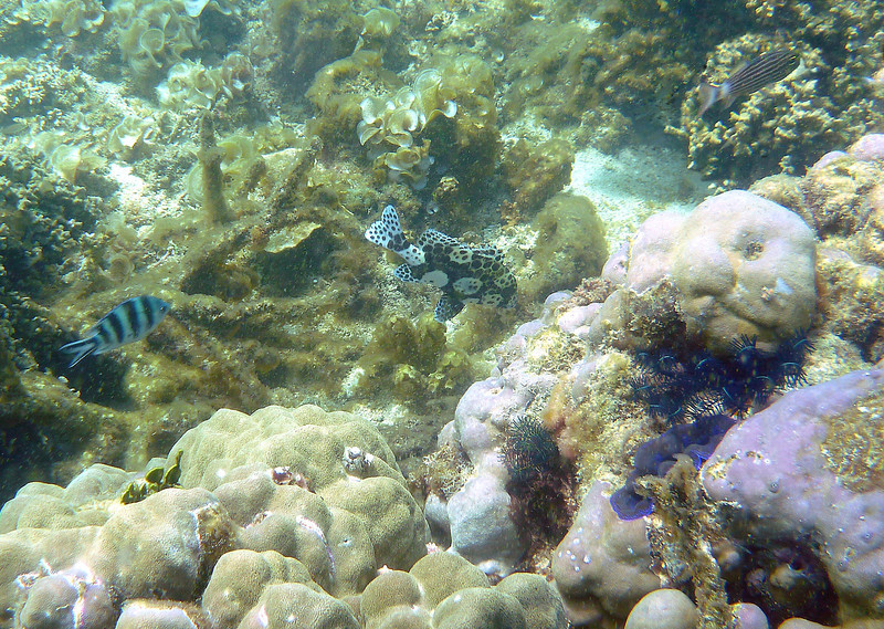 We started the fourth day again with snorkeling.  I love to see new and interesting fishes.  This uniquely patterned one is a juvenile Many Spotted Sweetlip.  It indeed has many spots !