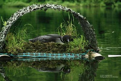 IMG_7600 ©Nature's Art  Loon on Nest (1)