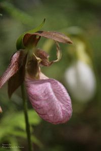 Pink Ladies Slipper