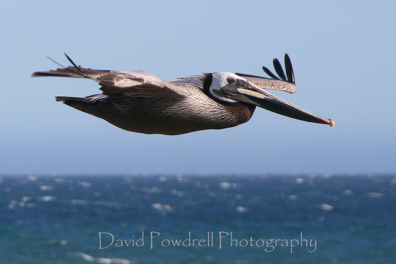 Pelican in gale force winds.