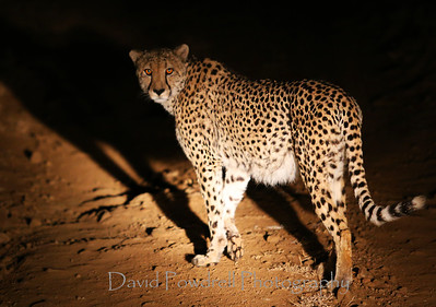 Cheetah in the headlights.