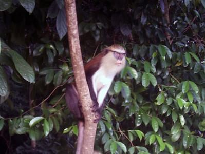 Tafi Atome monkey preserve in Ghana, W. Africa