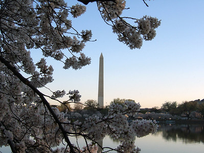 Washington Memorial through Cherry Blossoms