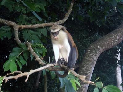 Tafi Atome, Ghana, W. Africa Monkey Preserve