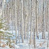 Pine and Poplar - #1