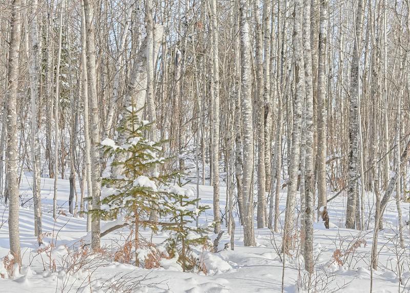 Pine and Poplar - #2