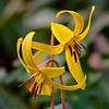 Yellow Trout Lilly - #4